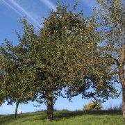Obstbaumschnitt OBST