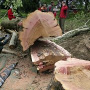 Sachverständiger im GaLaBau, Fachrichtung Baumpflege – SV